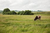 Cow Stands On A Meadow And Eat Grass