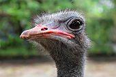 Emu-Nahaufnahme