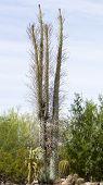 stock photo of ocotillo  - Boojum tree Ocotillo Family - JPG