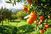 stock photo of orchard  - agriculture farm mandarin orange tree in garden - JPG