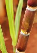Sugarcane Crop Showing Juicy Ripe Stem Rich In Sucrose