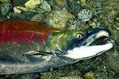 Gasping Sockeye Salmon In The Upper Pitt River