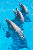 Group of bottle nosed dolphins