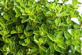 stock photo of oregano  - bunch oregano an aromatic plant, nature background