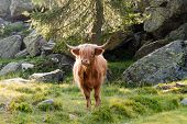foto of highland-cattle  - highland cattle grazing in mountain pasture with rock - JPG
