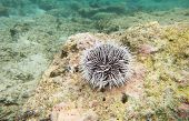 foto of curacao  - A sea Urchin underwater - JPG