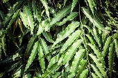pic of eucalyptus leaves  - Green - JPG