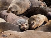 Brown Fur Seals (Arctocephalus pusillus)