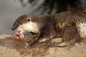 Otter Essen Fisch
