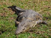 Lazy Nile Crocodile