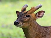 Portrait of a Chinese Muntjac 02