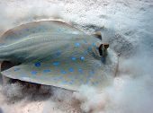 image of stingray  - A blue spotted stingray  - JPG