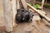Vietnamese potbellied smal pigs