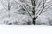 Snow Covered Beech Tree