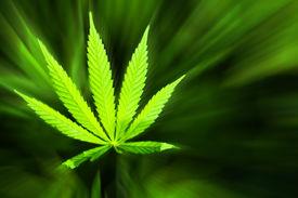 image of opiate  - Young cannabis plant marijuana plant detail blured  - JPG