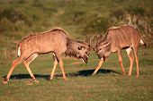 pic of antelope horn  - Two male kudu antelope with horns intertwined in a fight for dominance - JPG