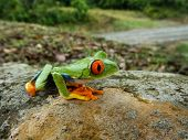 stock photo of orange frog  - Costa Rican Red Eye Tree Frog on a huge rock with green rolling hills in the background - JPG