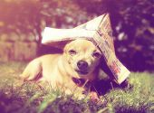a tiny chihuahua with a paper sailor hat on done with a retro vintage instagram filter