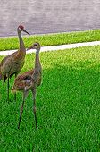 Adult and Juvenile Sandhill Cranes