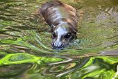 Pygmy Hippo In The Water