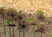 Allium gone to seed