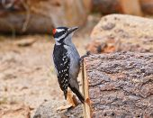 Hairy Woodpecker On A Log