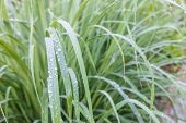 Lemongrass Leaf In Morning With Drop Of Meadow