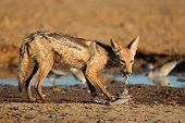 A black-backed jackal (Canis mesomelas) eating a dove, Kalahari desert, South Africa