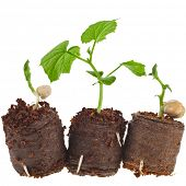 Vegetables Seedlings in peat  tablet pot  isolated on white background