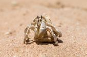 stock photo of hermit  - Hermit Crab in a screw shell - JPG
