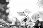 Greyscale Image Of Beech Leaves