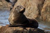 Fur Seal Asleep