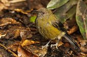 Bellbird In Forest
