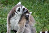 Ring-tailed Lemur Catta mother with baby on the back