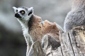 Ring-tailed Lemur Catta Sitting On A Branch