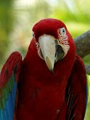 Red and Green Macaw AKA Green Winged Macaw