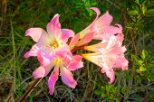 stock photo of belladonna  - Amaryllis belladonna is a native of the Western Cape region of South Africa - JPG