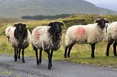Herd of white sheep with black head on the road.