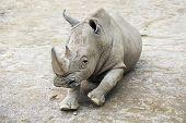 Southern White Rhinoceros.