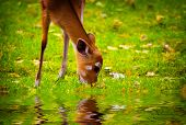 Cute beautiful fawn eating grass in the nature