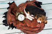 Tired little seven weeks old beagle puppy sleeping