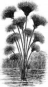 picture of monocots  - Papyrus sedge or Cyperus papyrus or Paper reed vintage engraving - JPG