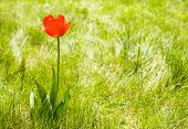 Alone flower tulip outdoor. Green pattern. Copy space