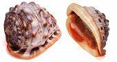 Cypraecassis Rufa Seashell Isolated