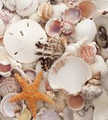 stock photo of sanddollar  - Assorted Sea Shells as a Background includes Sanddollar and Starfish - JPG