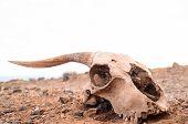 Dry Goat Skull