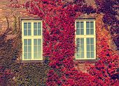 stock photo of ivy vine  - Climbing vines of ivy on a house vintage look - JPG