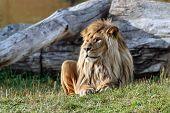 Big Beautiful Lion.