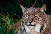 stock photo of wildcat  - a european lynx dangereous predator outdoos wildcat sitting - JPG
