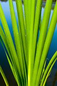 Green cane plant - close-up photo.